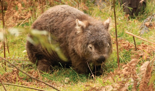 bents-basin-wombats-01